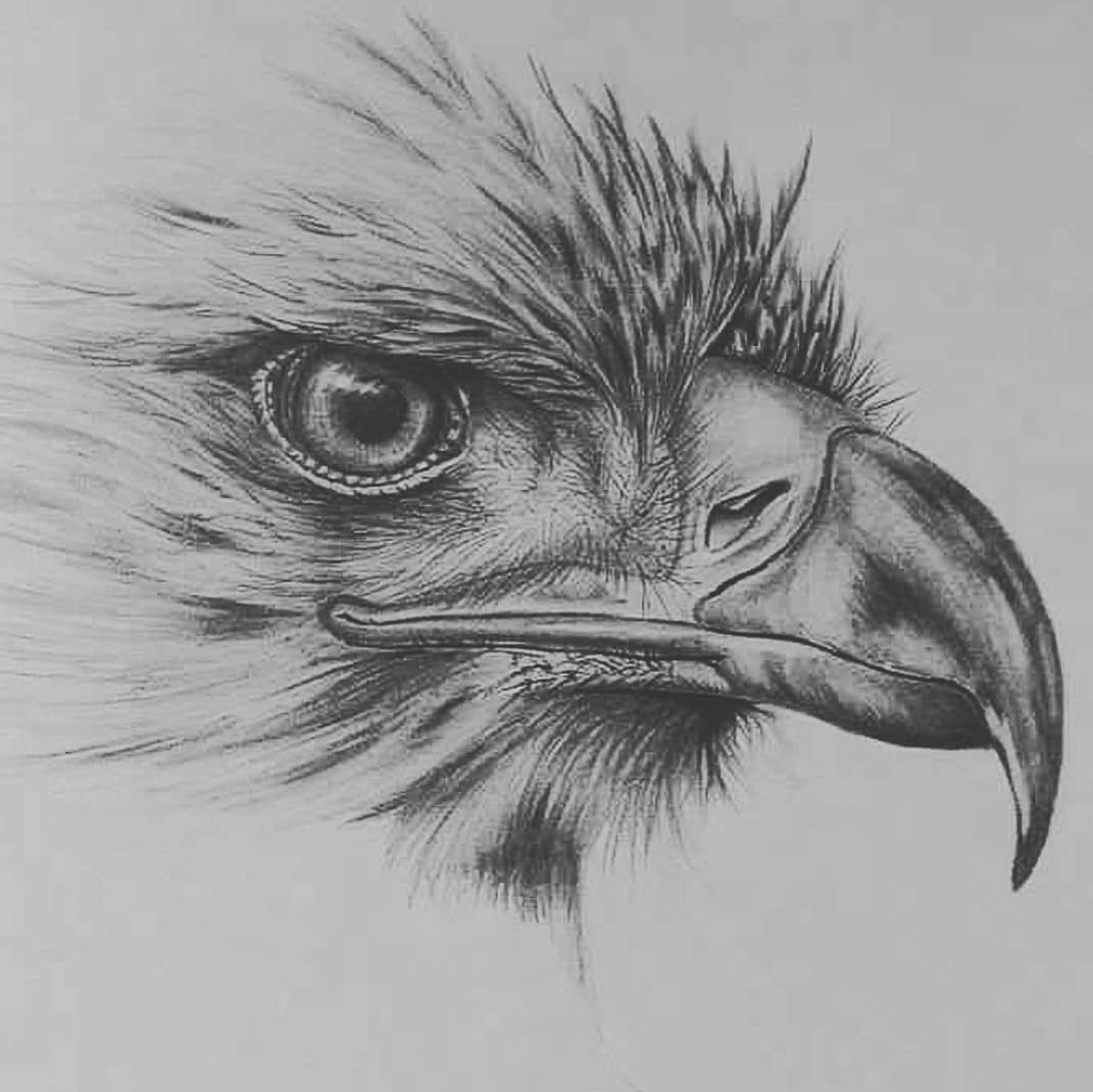 pencil drawings of the American eagle